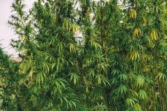 Cânhamo industrial cultivado da marijuana no campo fotografia de stock royalty free