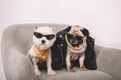 Cães à moda nos óculos de sol fotos de stock