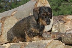 Cães ásperos do cabelo em troncos de árvore Fotografia de Stock