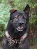 Cães 22 Foto de Stock Royalty Free