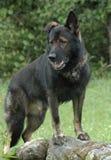 Cães 36 Fotografia de Stock Royalty Free