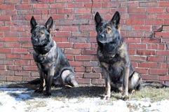 Cães 45 Imagens de Stock Royalty Free