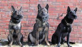 Cães 46 Foto de Stock Royalty Free