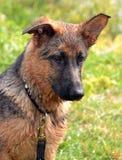 Cães 79 Imagem de Stock Royalty Free