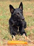 Cães 80 Imagem de Stock Royalty Free
