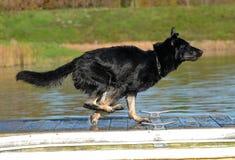 Cães 95 Fotografia de Stock Royalty Free