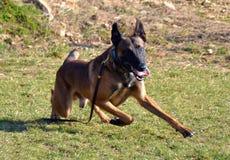 Cães 101 Imagem de Stock Royalty Free