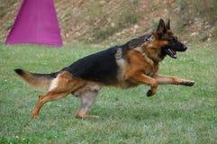 Cães 104 Foto de Stock Royalty Free