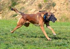 Cães 107 Foto de Stock Royalty Free