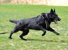 Cães 138 Imagem de Stock