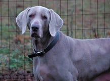 Cães 164 Fotografia de Stock Royalty Free