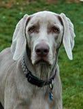 Cães 213 Foto de Stock