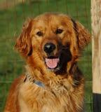 Cães 240 Fotografia de Stock Royalty Free
