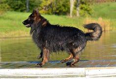 Cães 304 Imagem de Stock Royalty Free