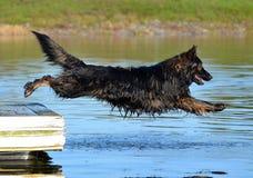 Cães 307 Fotografia de Stock Royalty Free