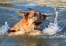 Cães 308 Imagem de Stock