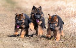 Cães 00010 Fotografia de Stock