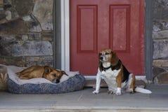cães Fotografia de Stock