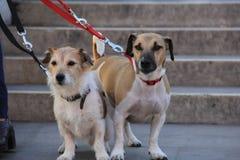 cães Fotografia de Stock Royalty Free