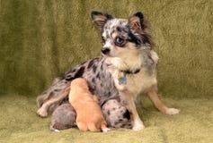 Cães 00004 Fotografia de Stock Royalty Free