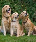 Cães Imagem de Stock