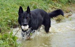 Cães 2017-3 Imagens de Stock Royalty Free