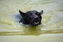 Cães 07-2017 Fotografia de Stock Royalty Free