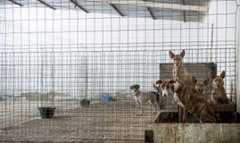 Cães abandonados Fotografia de Stock