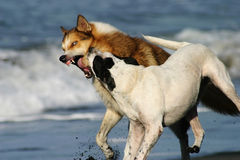 Cães agressivos em uma praia Imagem de Stock