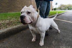 Cães americanos felizes da intimidação na primavera fotos de stock