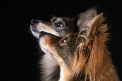 Cães atentos fotos de stock royalty free