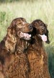Cães bonitos Fotos de Stock Royalty Free
