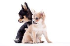 Cães bonitos da chihuahua imagens de stock royalty free