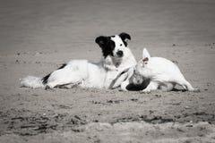 Cães bonitos de border collie e de bull terrier que jogam no Sandy Beach, isolado em preto e branco Foto de Stock Royalty Free