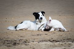 Cães bonitos de border collie e de bull terrier que jogam no Sandy Beach, isolado em preto e branco Imagens de Stock Royalty Free