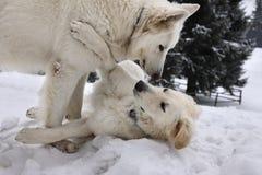Cães brancos Foto de Stock Royalty Free