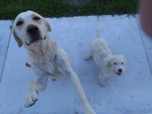 Cães brancos Fotos de Stock Royalty Free