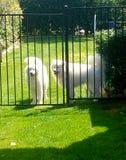 Cães brancos fotografia de stock