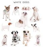 Cães brancos ajustados Fotos de Stock Royalty Free