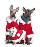 Cães calvos peruanos e uma chihuahua do filhote de cachorro imagem de stock royalty free