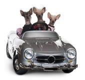 Cães com crista chineses que conduzem o convertible fotos de stock