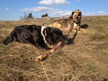Cães com ramo Foto de Stock