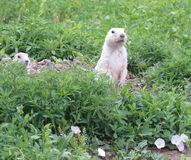 Cães curiosos de Prarie fotografia de stock royalty free