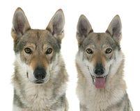 Cães Czechoslovakian do lobo fotografia de stock