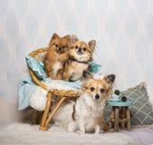 Cães da chihuahua e do spitz que sentam-se na cadeira no estúdio, retrato Imagem de Stock Royalty Free