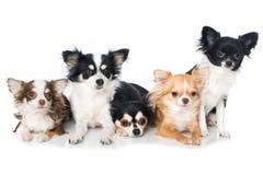 Cães da chihuahua no fundo branco Fotos de Stock Royalty Free
