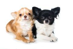 Cães da chihuahua no fundo branco Imagens de Stock