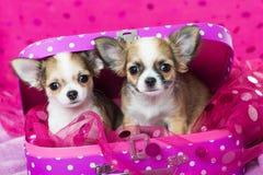 Cães da chihuahua que sentam-se no fundo cor-de-rosa Foto de Stock