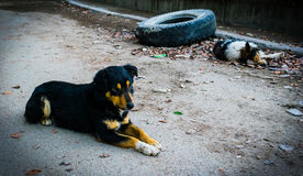 Cães da estrada Fotografia de Stock
