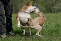 Cães da luta imagem de stock royalty free